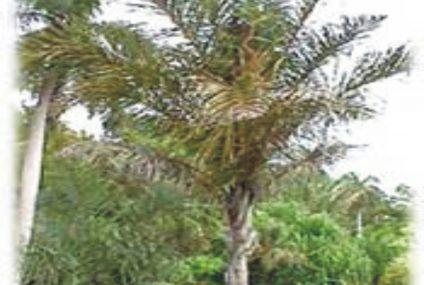 Raphia Palm